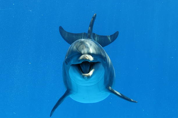 Bottlenose Dolphin Underwater view of a playful bottlenose dolphin dolphin stock pictures, royalty-free photos & images