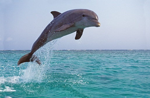 Bottlenose Dolphin, tursiops truncatus, Adult Leaping
