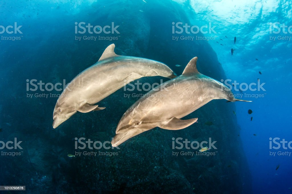 Bottlenose Dolphins at Roca Partida, Mexico stock photo