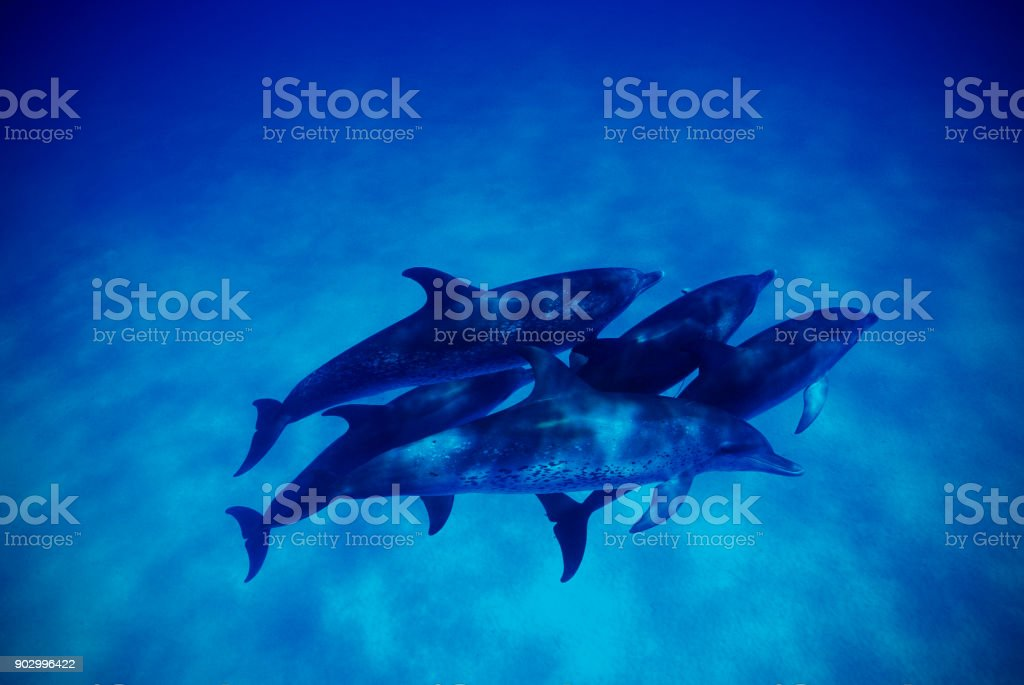 Bottlenose dolphins (Tursiops truncatus), Bahamas stock photo