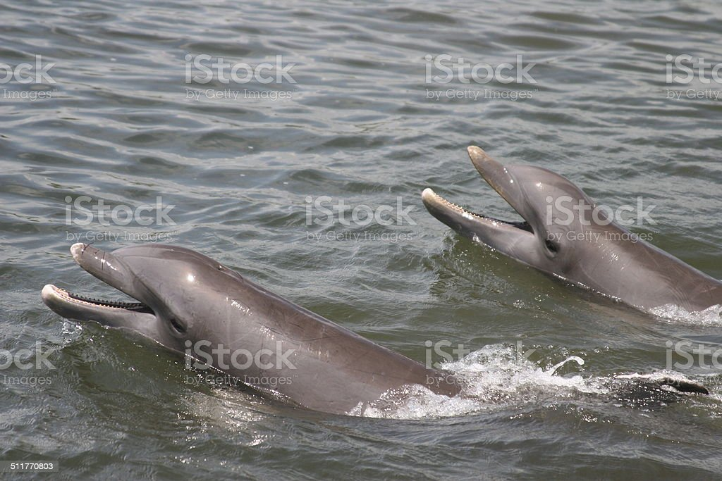 Bottlenose Dolphins Clicking stock photo