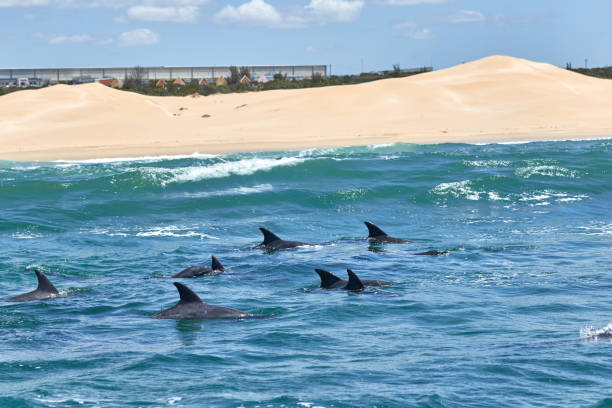Bottlenose dolphins in front of the beach stock photo