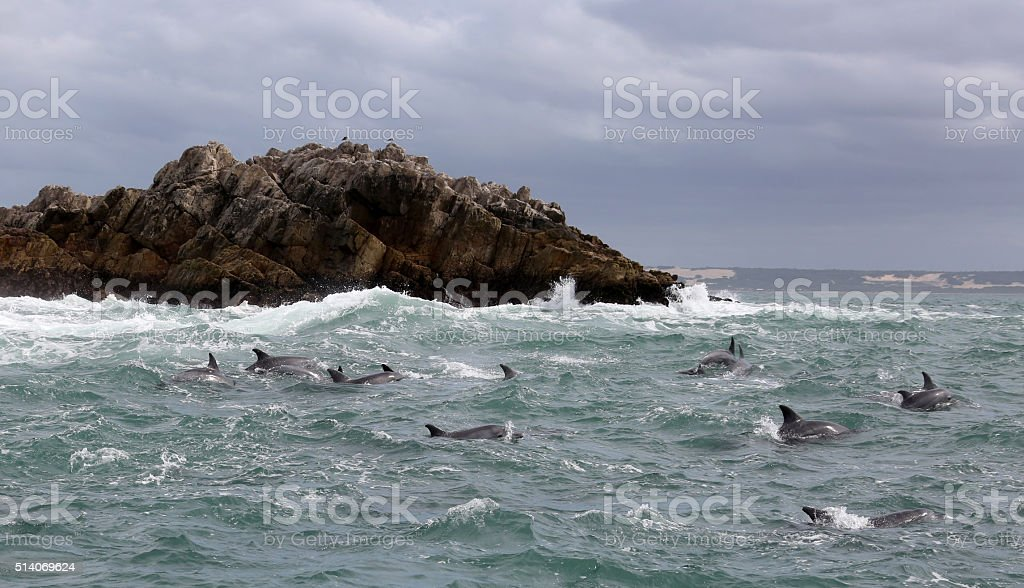 Bottlenose Dolphins in Rough Seas off South Africa stock photo