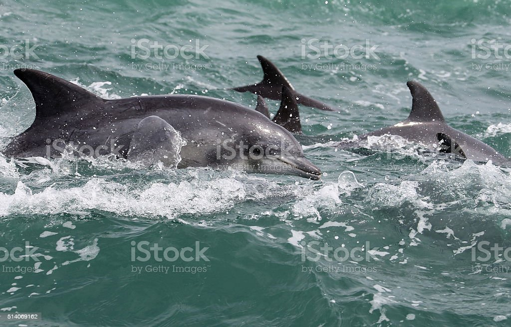Bottlenose Dolphins in the Indian Ocean off South Africa stock photo