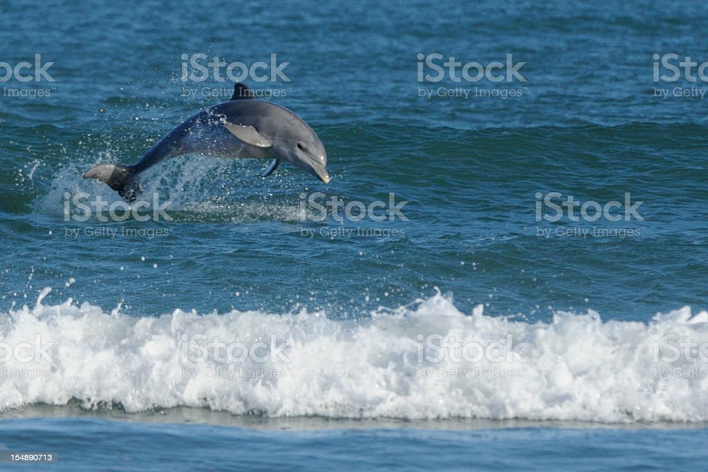 Bottle-nosed Dolphin (Tursiops truncatus) leaping in surf stock photo