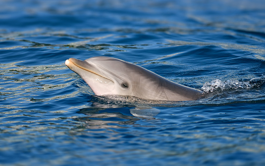 close-up of a bottle-nosed dolphin in water
