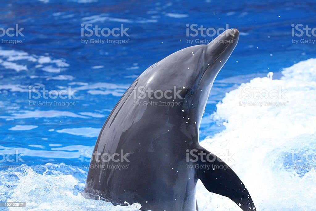 Bottle-Nosed Dolphin stock photo