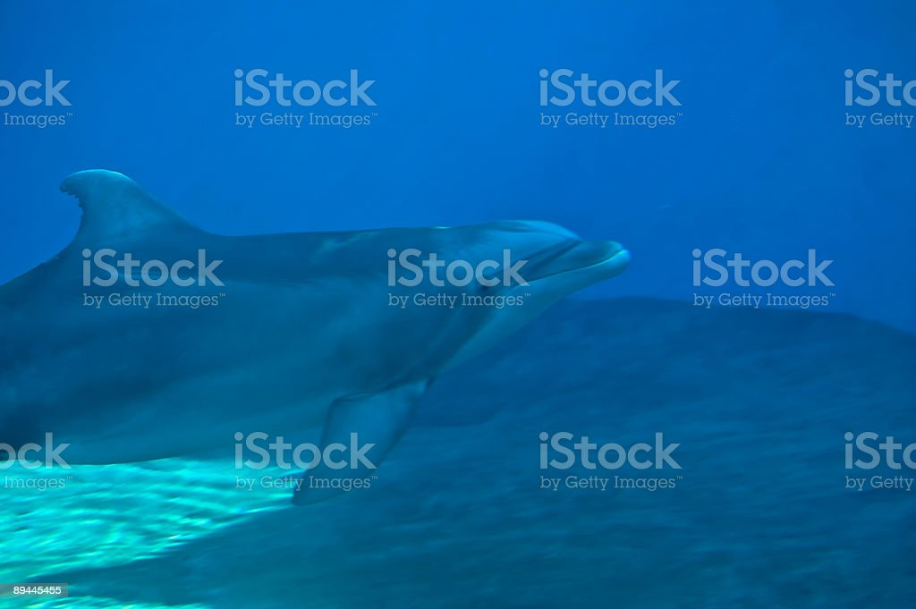 Bottle-Nosed Dolphin Swimming - MORE in portfolio royalty-free stock photo