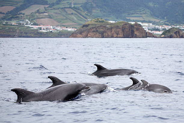 Bottle-nosed Dolphins At Azores Sea  cetacea stock pictures, royalty-free photos & images