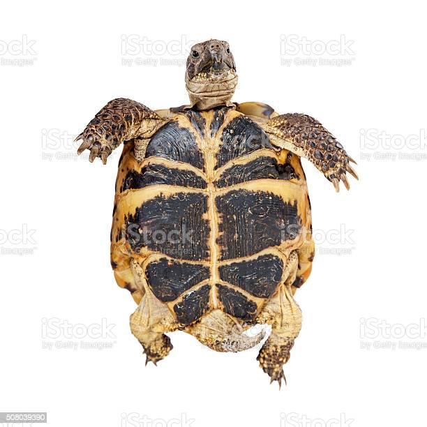 Bottom of a russian tortoise picture id508039390?b=1&k=6&m=508039390&s=612x612&h=nl5jivn0pdn39qcjri5i9idzj8w4irt qnwblzjchwg=