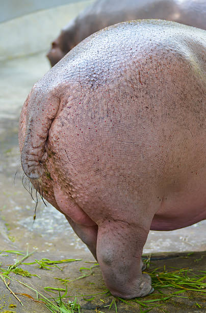 bottom of hippopotamus - hippo tail stock photos and pictures
