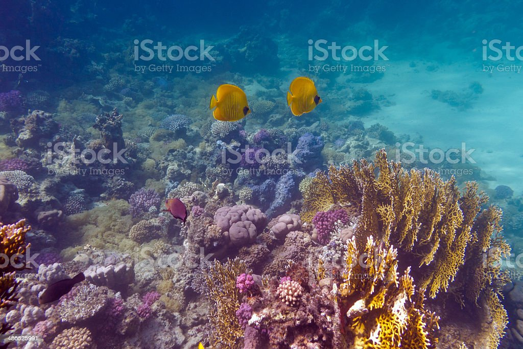 bottom of tropical sea with coral reef and butterflyfishes stock photo