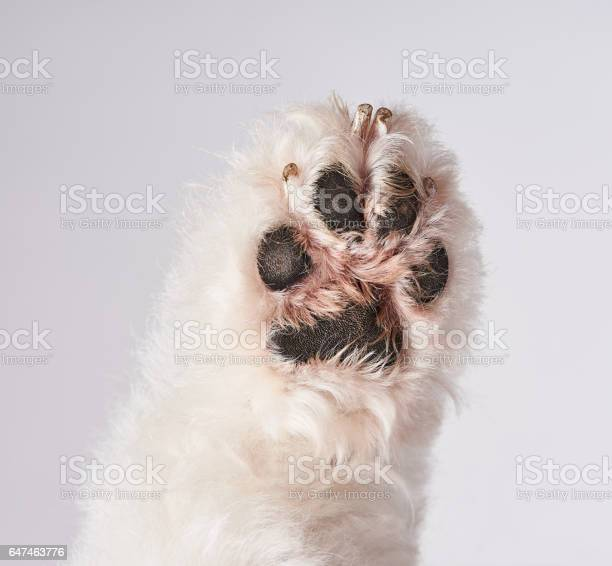 Bottom of white dog paw picture id647463776?b=1&k=6&m=647463776&s=612x612&h=bfo61p6tmxuah5lcboql rstqzyfpfbjotd5sghk3b4=