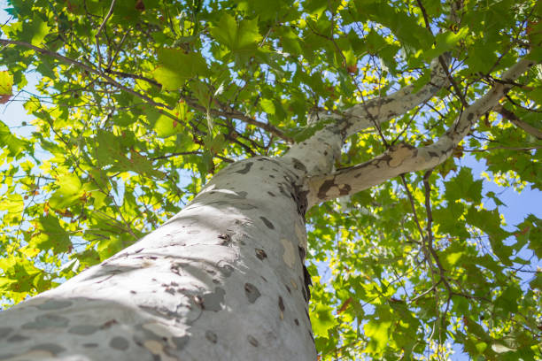 Bottom to top view of a platan tree trunk and branches against a blue sky background Bottom to top view of a platan tree trunk and branches against a blue sky background sycamore tree stock pictures, royalty-free photos & images