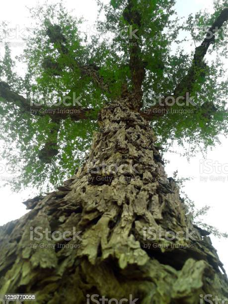 Photo of Bottom view of a tree in desert area of India
