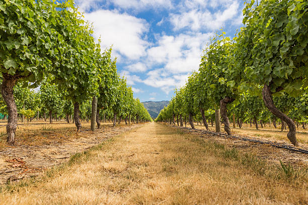 Bottom view of grape plants in a vineyard stock photo