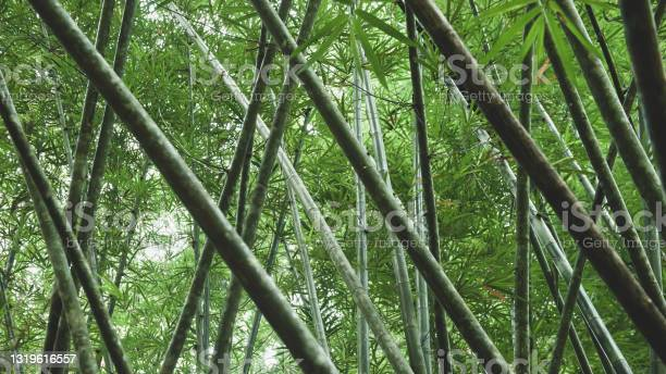 Photo of Bottom view of green bamboo forest in summer.