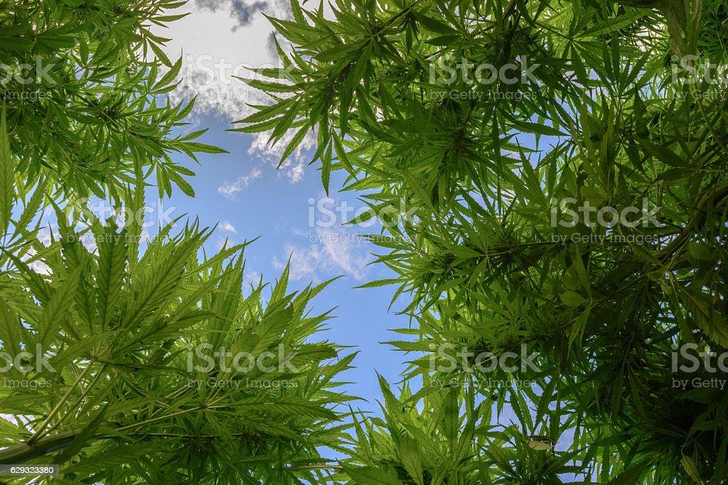 Bottom view of marijuana – Foto