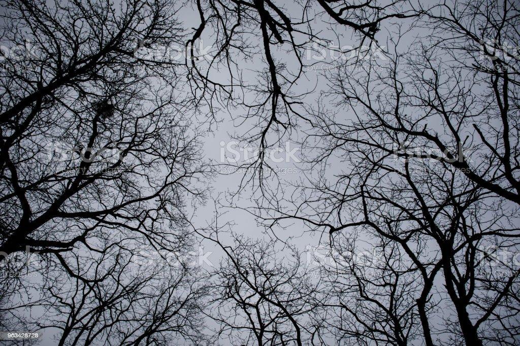 Bottom view of tall old trees in winter forest Blue sky in background. Azerbaijan - Zbiór zdjęć royalty-free (Azerbejdżan)