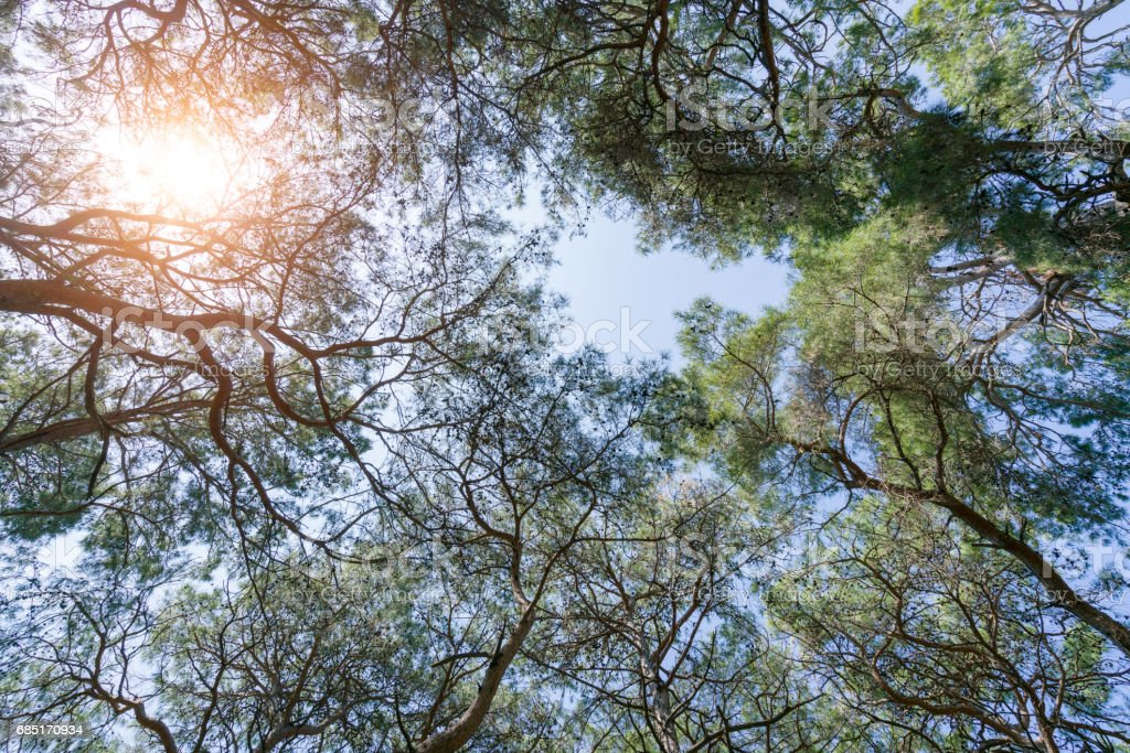 Bottom view of tall pine trees in evergreen primeval forest royalty-free stock photo