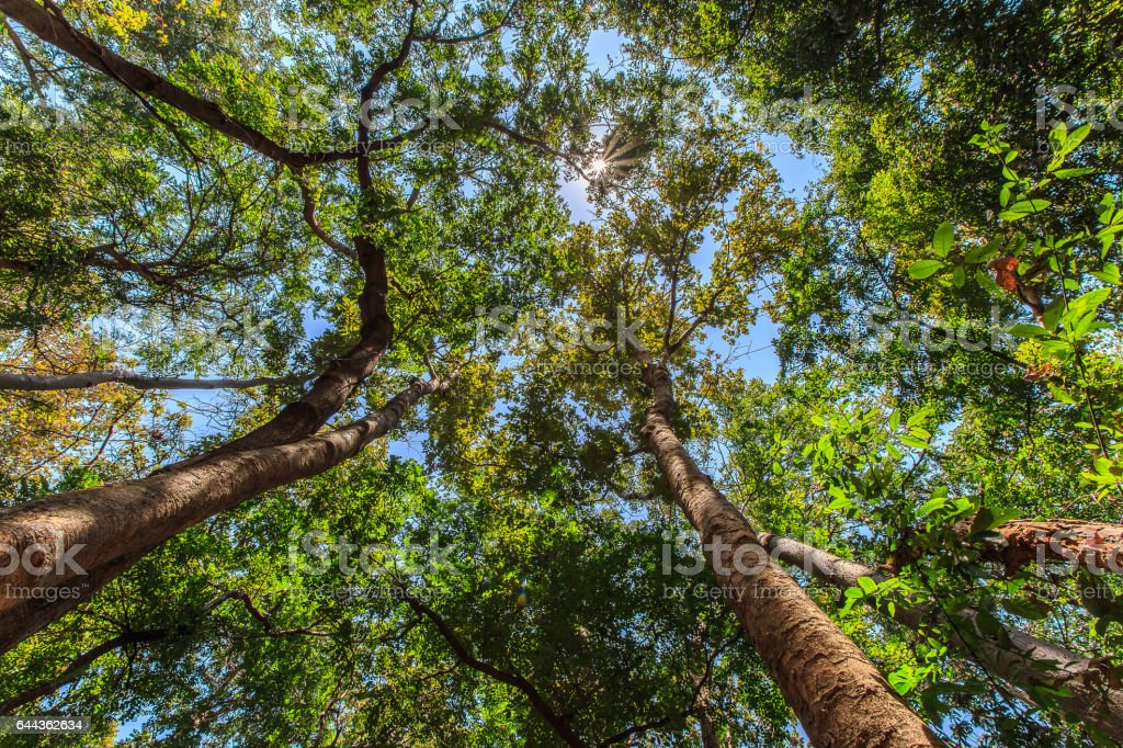 Bottom view of tall trees in the forest, with sun flare stock photo