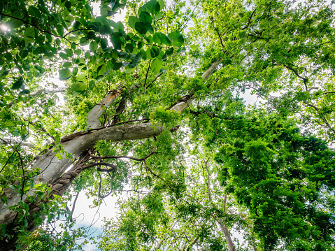 Bottom view to the tree top of a huge Plane tree or Platanus in jungle forest. Sun rays in the tree crown. Nature background