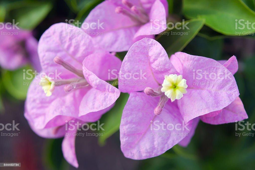 Bougainvilea hybrida flowers closeup view stock photo