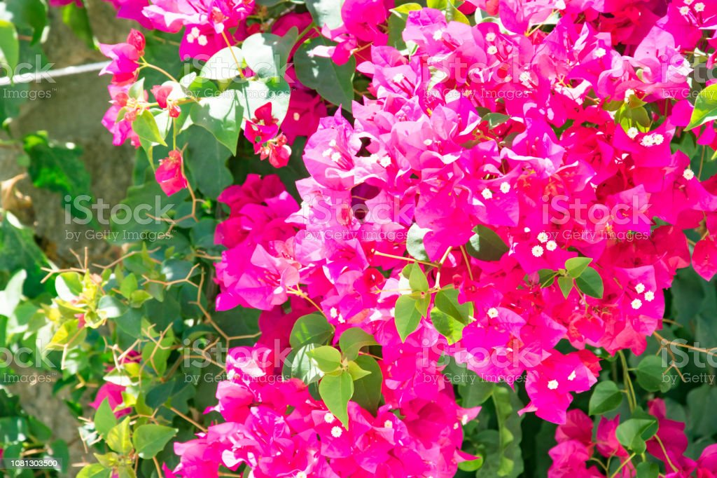 Bougainvillaea Blooming Bush With White And Pink Flowers Summer