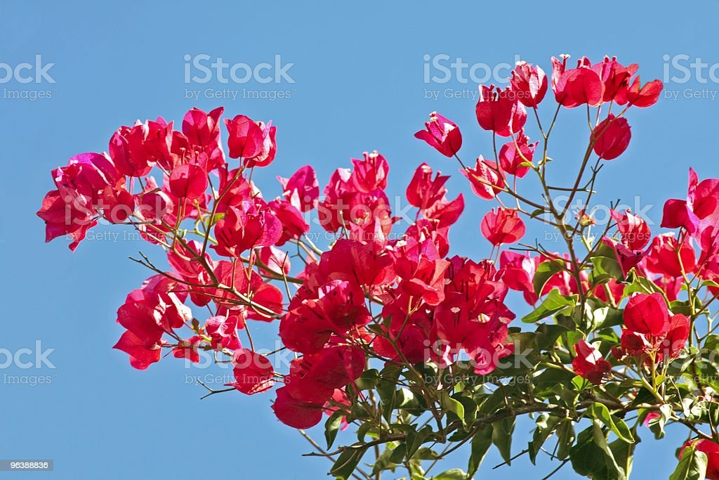 Bougainvillea against a blue sky - Royalty-free Blossom Stock Photo