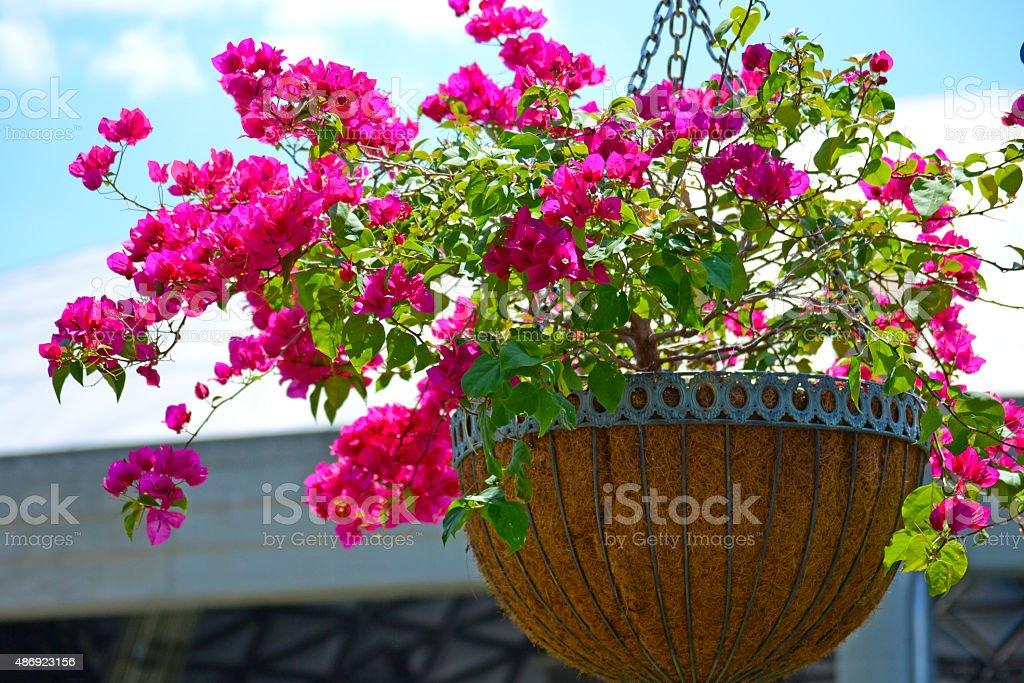Bougainvillea Basket stock photo