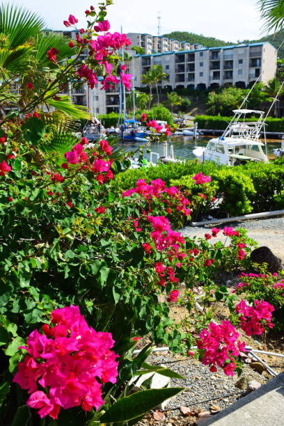 Bougainvillea blooming St. Thomas, USVI stock photo