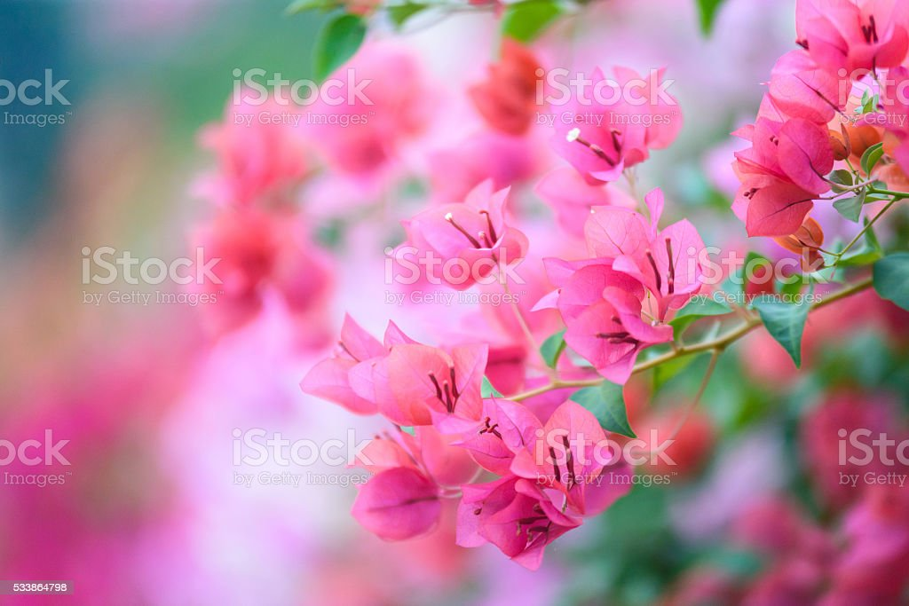 Bougainvillea blooms in the garden, soft focus stock photo