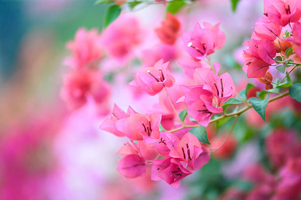 Buganvilia flores en el jardín, foco suave - foto de stock