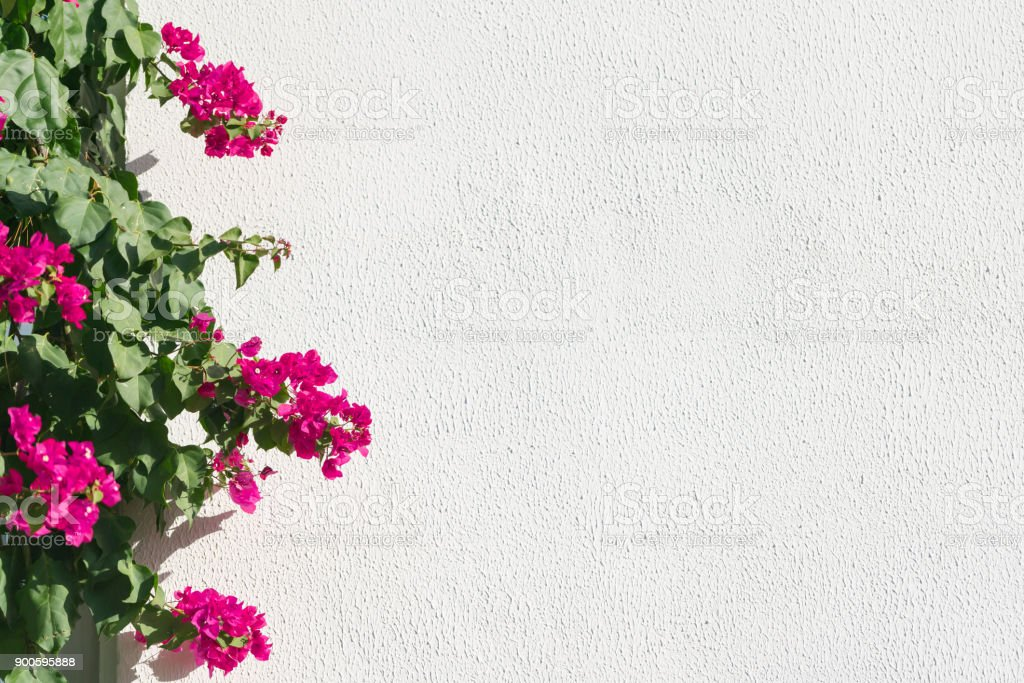 Bougainvillea border in front of the white wall – zdjęcie