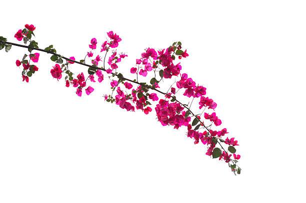 Buganvilia Branch - foto de stock