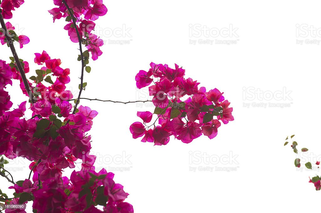 Bougainvillea Branch royalty-free stock photo