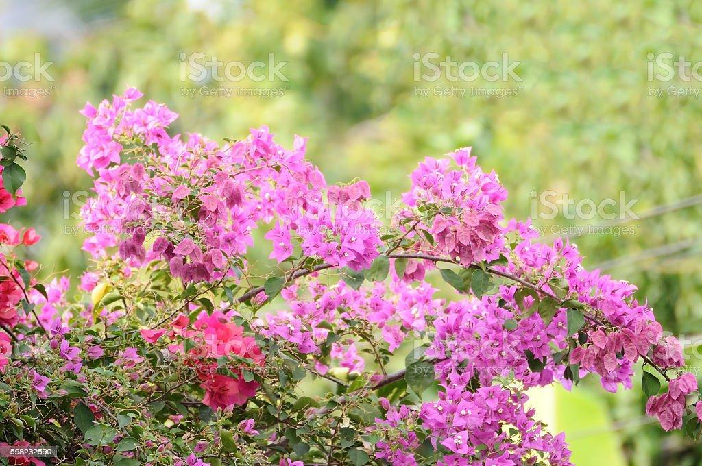 Bougainvillea bush in fresh garden foto royalty-free