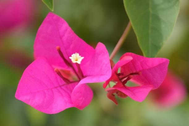 bougainvillea farbe carmín. - herrenhaus grundrisse stock-fotos und bilder