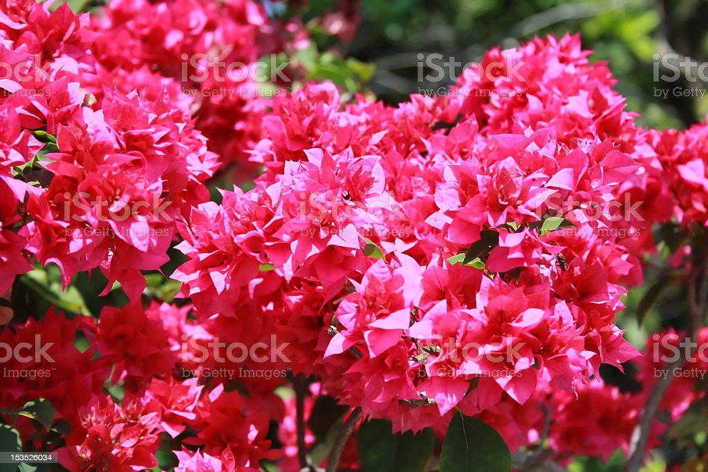 Bougainvillea flower background stock photo