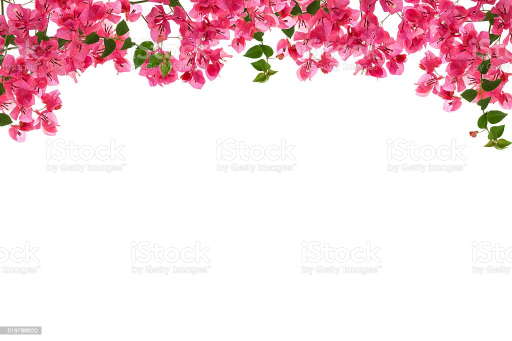 Bougainvillea flower frame on white background ,Provincial flowe stock photo