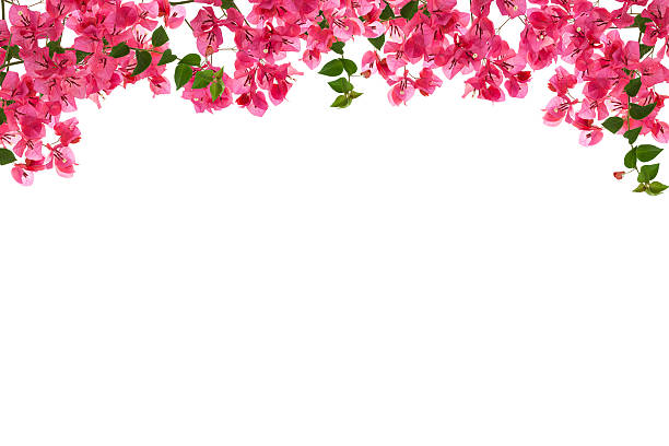 Best Bougainvillea Stock Photos Pictures Amp Royalty Free