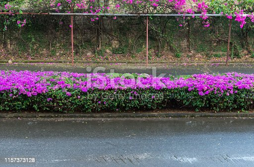 Colorful bougainvillea flower is blooming on the traffic island of the local road.
