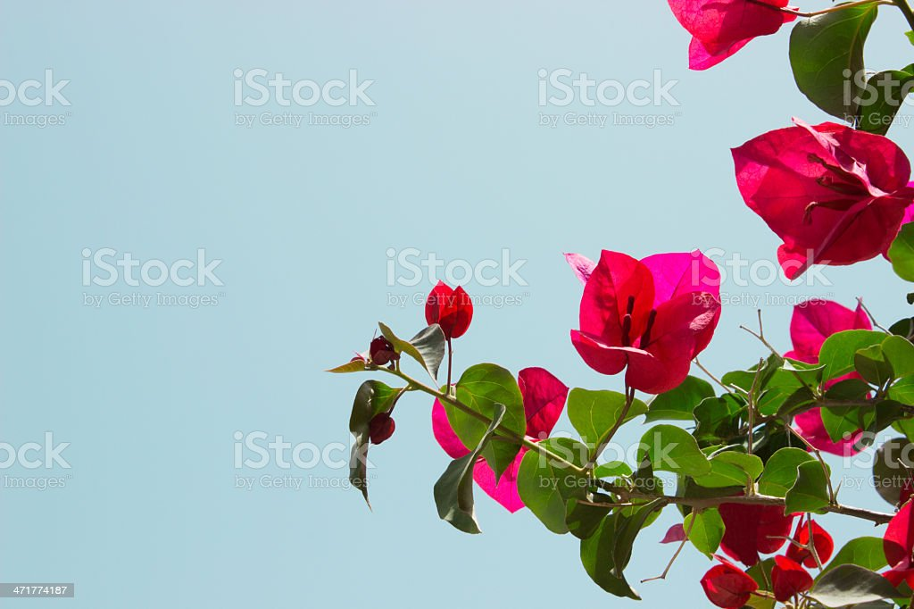Bougainvillea flower royalty-free stock photo