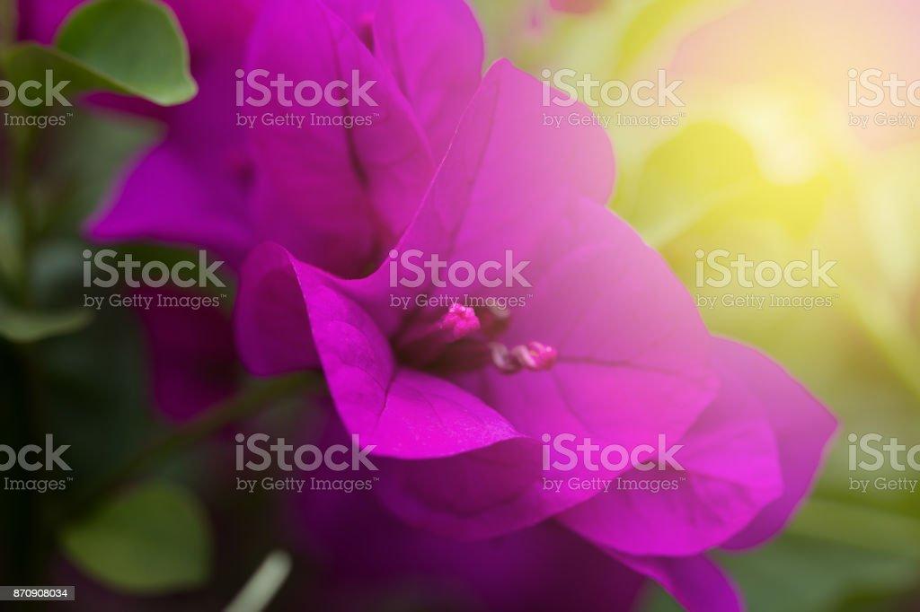 Bougainvillea Flower – zdjęcie
