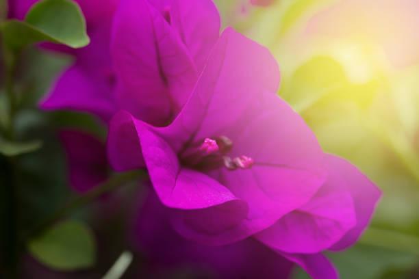 Buganvilia flor - foto de stock