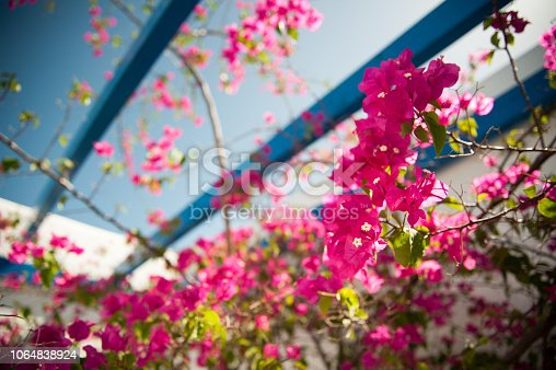 Image of Bougainvillea Flower with blue sky in Bangkok, Thailand