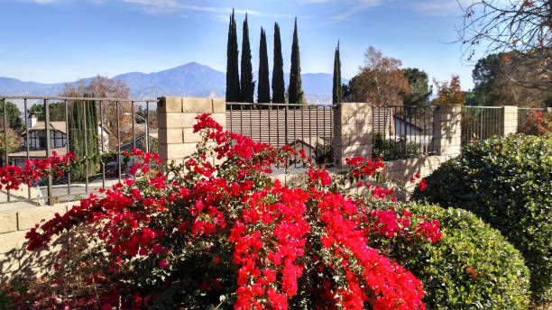 Bougainvillea flowers along street and fence with San Bernardino Mountains in the background near Redlands California Bougainvillea flowers along street and fence with San Bernardino Mountains in the background near Redlands California redlands california stock pictures, royalty-free photos & images