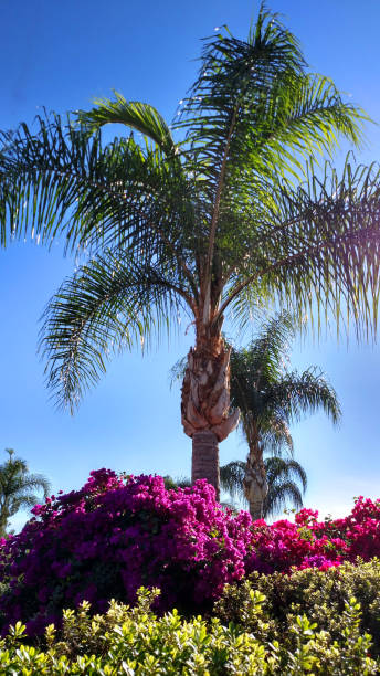 Bougainvillea flowers and palm tree in Redlands California Bougainvillea flowers and palm tree in Redlands California redlands california stock pictures, royalty-free photos & images