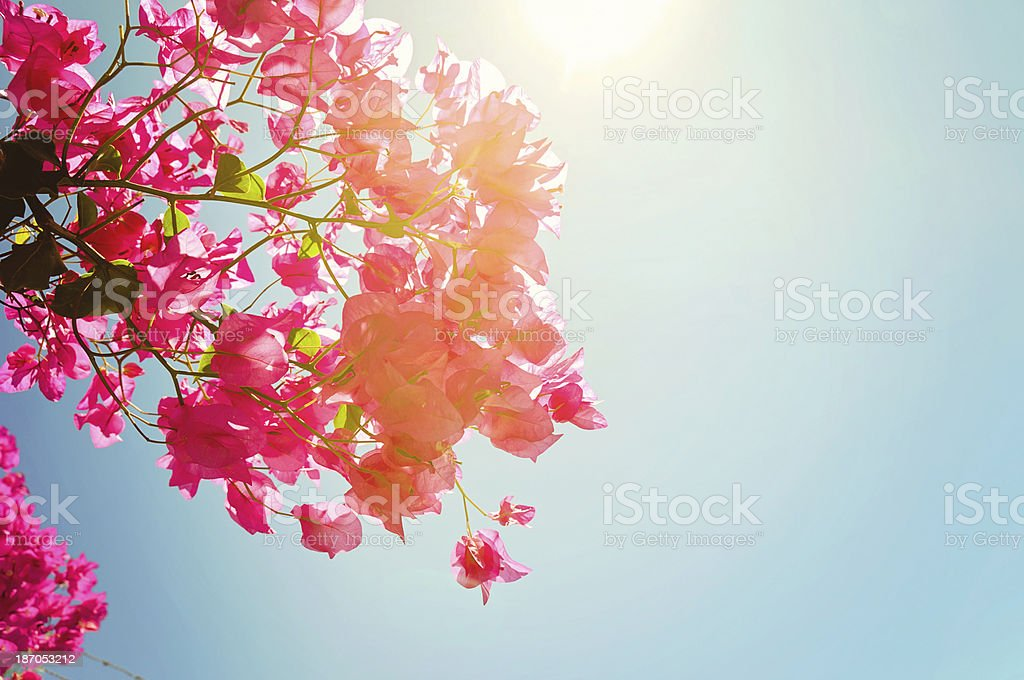 Bougainvillea flowers and sunshine stock photo