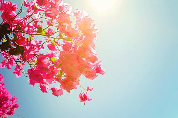 Buganvilia flores y sol - foto de stock